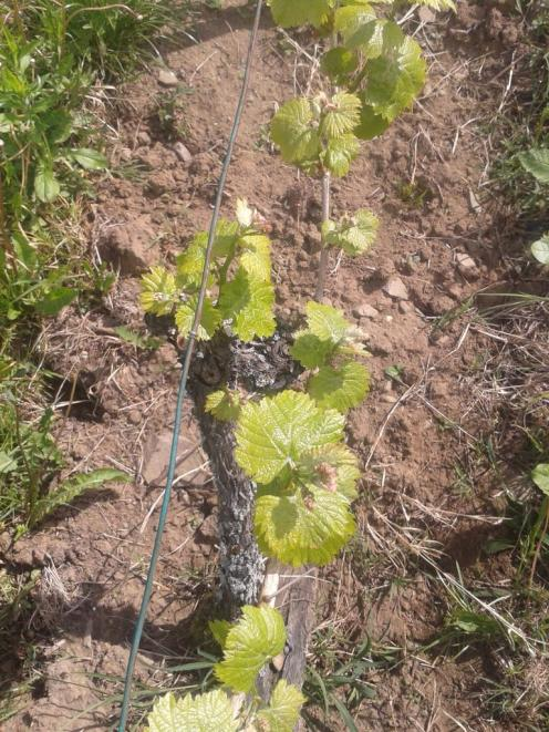 Italian Riesling on cane pruned older vines.