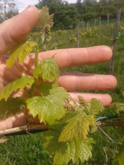 Italian Riesling vine shoot and flower clusters.