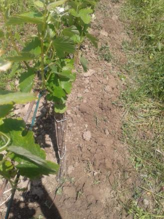 Tilled vine row.