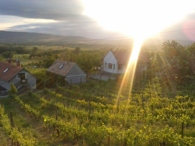 One vineyard at sunset.