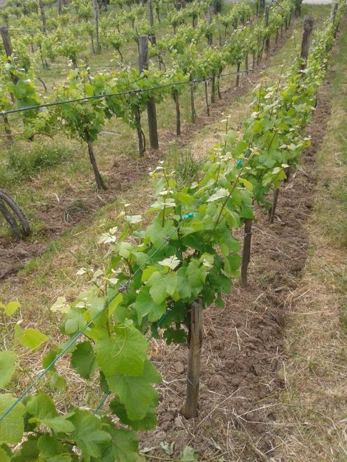 Rows of Pinot Gris.