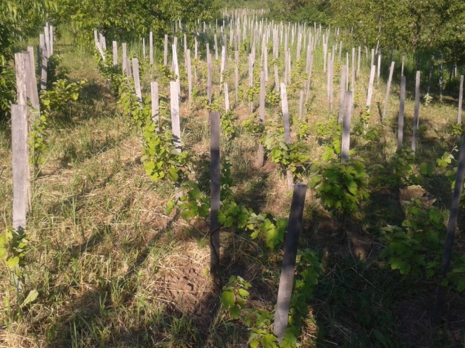Our Hungarian Kéknyelű vineyard. This vineyard is staked on a 1m x 1.2m planting.