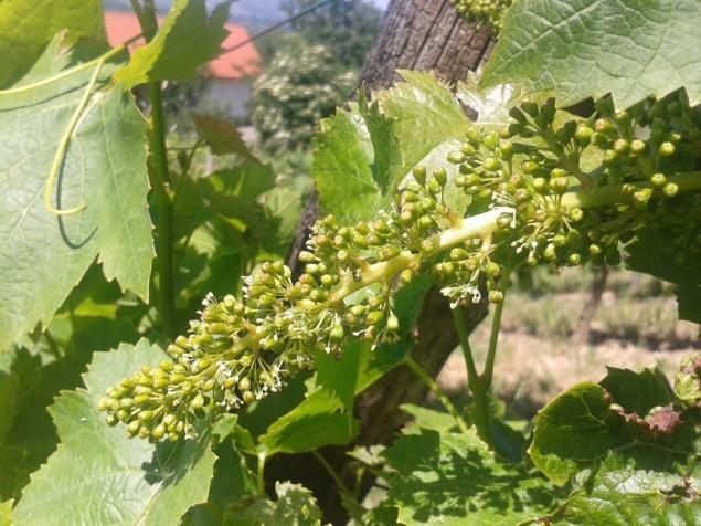 Turán starting to bloom.