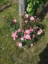 End row rose bushes are also blooming.