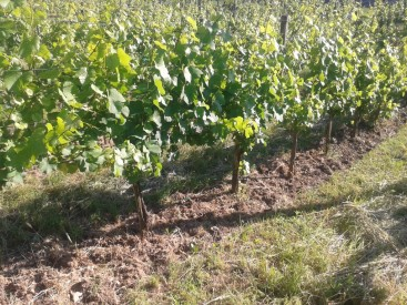 Pinot Gris vines nicely filling out their trellis.