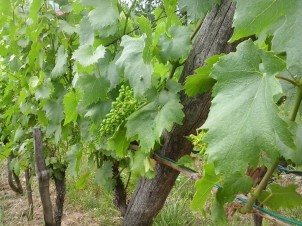 Italian Riesling young grape berries.
