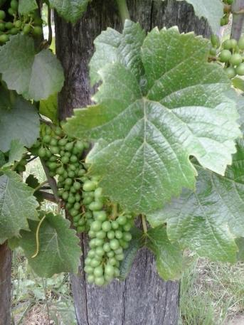 Pinot Gris young grape berries.