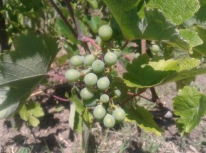 Kéknyelű grape berries on four year old vines.