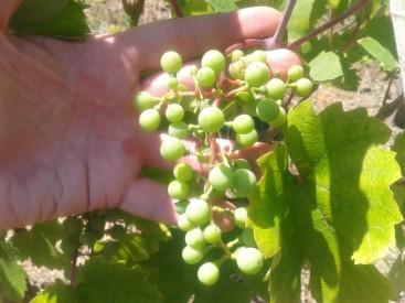 Kéknyelű grape berries on four year old vines.