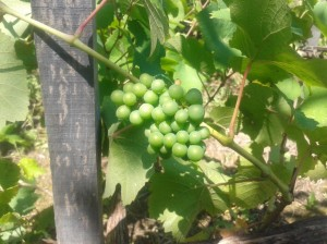 Pinot Noir berries on four year old vines.