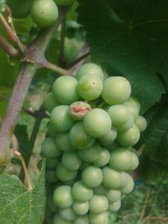 Hail damage to grape berry.
