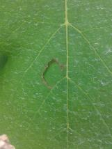 Hail damage to grape leaf, where the hail punches a hole in the leaf..