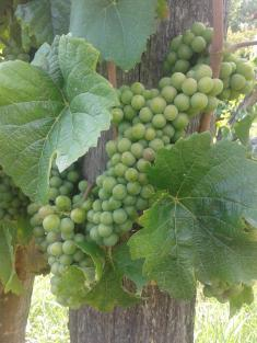 Pinot Gris just starting veraison. Just one or two berries.