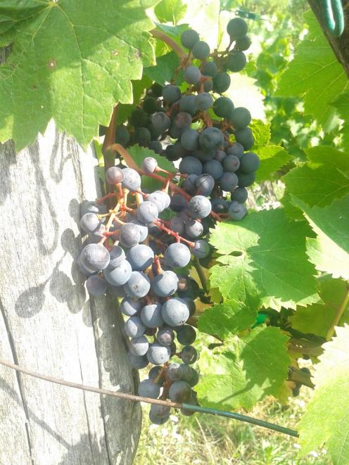 Turán / Agria completed of veraison.