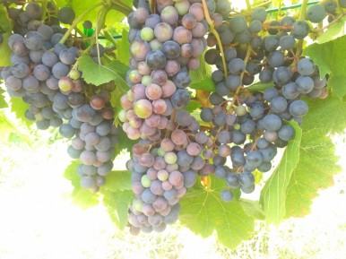 Turán / Agria nearing completion of veraison.