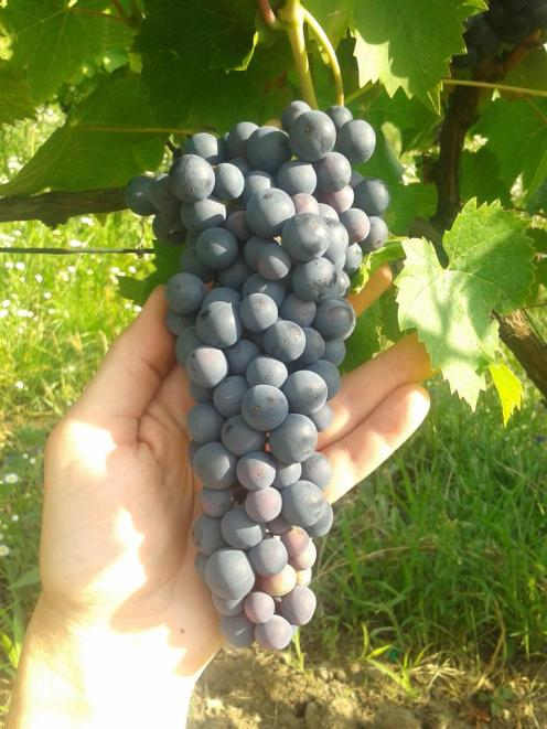 Turán / Agria after completing veraison.