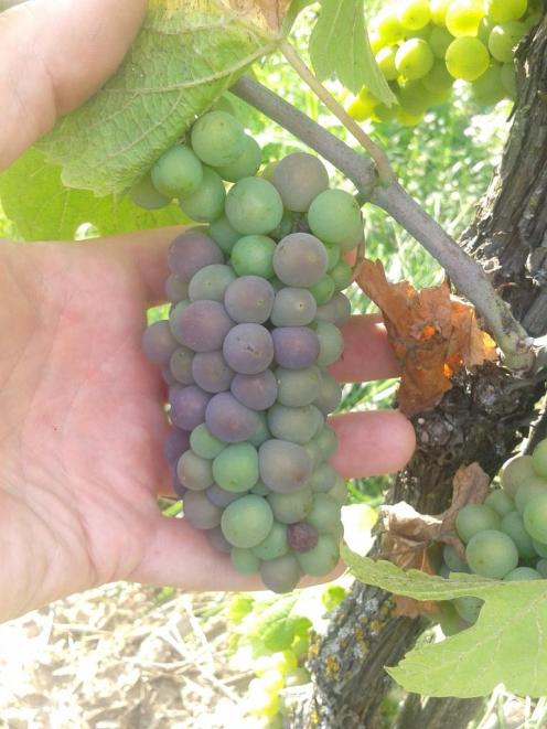 Pinot Gris just starting veraison.