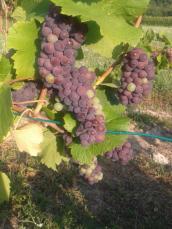 Pinot Gris finalizing veraison.