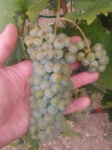 Italian Riesling ripening
