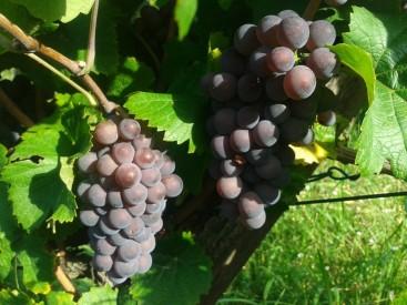 Pinot Gris post-veraison