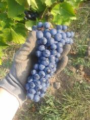 Harvested Turán grape cluster.