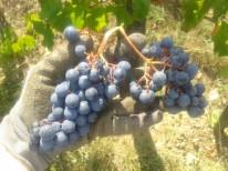 Harvested Turán grape cluster.