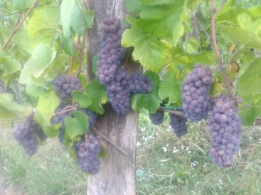 Pinot Gris just before harvest.