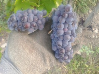 An example of Pinot Gris with a child cluster.