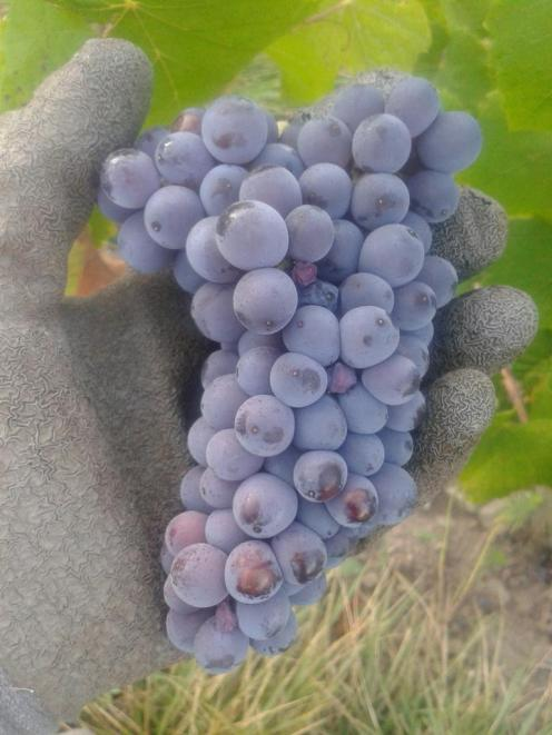 An example of a Pinot Gris grape cluster with shoulders at the top of the cluster.