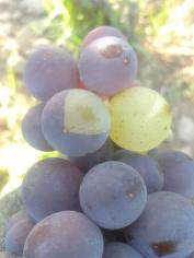 Single grape chimera of Pinot Gris and Pinot Blanc.