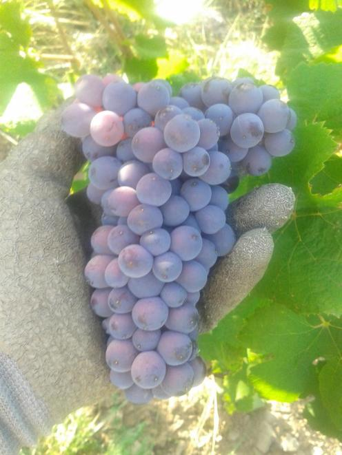 Pinot Gris grape cluster with shoulders at the top of the cluster.