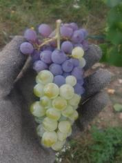 Grape cluster chimera of Pinot Gris and Pinot Blanc.