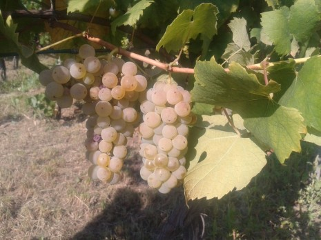Italian Riesling before harvest.