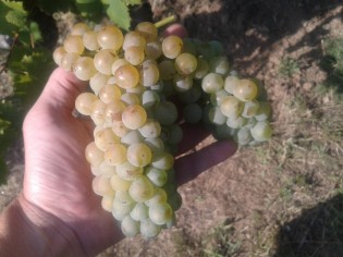 Large cluster of Italian Riesling.