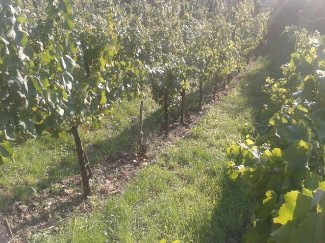 Post harvest vineyard.