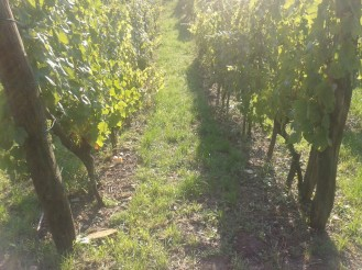 Post harvest vineyard.