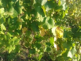 Post harvest vine.