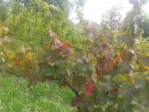 Autumn colors starting in the vineyard.