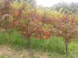 Autumn colors of Turán and Italian Riesling (background).