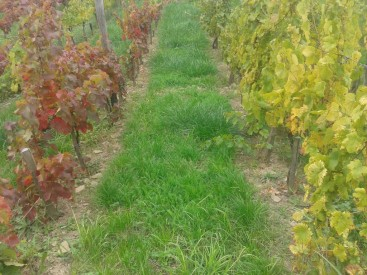 Autumn colors of Turán and Italian Riesling.