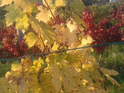 Autumn in the vineyard.