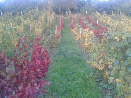 Autumn in the vineyard.