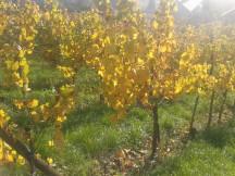 Autumn Pinot Gris.