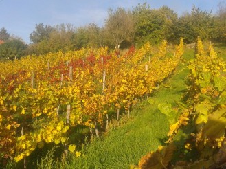 Autumn Italian Riesling, Turán and Pinot Gris.